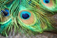 Μακρο Peacock Στοκ φωτογραφίες με δικαίωμα ελεύθερης χρήσης