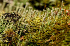 Μακρο slime υποβάθρου μυκήτων βρύου στοκ φωτογραφία