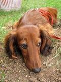 Μακρυμάλλες σκυλί Dachshund Στοκ εικόνα με δικαίωμα ελεύθερης χρήσης