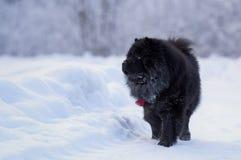 Μακρυμάλλες chow-chow σκυλί Στοκ Εικόνες