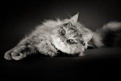 Μακρυμάλλης γάτα που βρίσκεται στο μαύρο φόντο Στοκ Φωτογραφίες