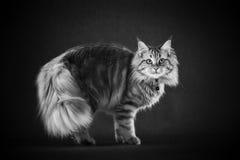 Μακρυμάλλης γάτα που στέκεται στο μαύρο φόντο Στοκ Φωτογραφίες