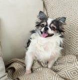 Μακρυμάλλες σκυλί Chihuahua στο ελαφριά υφαντικά διακοσμητικά παλτό και το χάπι Στοκ εικόνες με δικαίωμα ελεύθερης χρήσης