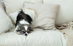 Μακρυμάλλες σκυλί Chihuahua στο ελαφριά υφαντικά διακοσμητικά παλτό και το χάπι Στοκ Εικόνα