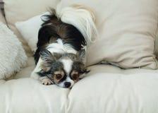 Μακρυμάλλες σκυλί Chihuahua στο ελαφρύ υφαντικό διακοσμητικό παλτό για ένα σύγχρονο κρεβάτι στο εσωτερικό ή το ξενοδοχείο Στοκ εικόνες με δικαίωμα ελεύθερης χρήσης