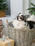Μακρυμάλλες σκυλί Chihuahua στο ψάθινο καλάθι Διακοσμήσεις Χριστουγέννων στο δωμάτιο Στοκ εικόνες με δικαίωμα ελεύθερης χρήσης