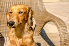 Μακρυμάλλες dachshund Mimiature στοκ εικόνα με δικαίωμα ελεύθερης χρήσης