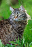 Μακρυμάλλης γάτα στη χλόη Στοκ Εικόνα