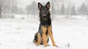 Μακρυμάλλης γερμανικός χειμερινός παγωμένος χιονώδης ποιμένων Στοκ Εικόνες