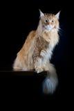 Μακρυμάλλης καφετιά γάτα που φαίνεται κεκλεισμένων των θυρών Στοκ φωτογραφία με δικαίωμα ελεύθερης χρήσης