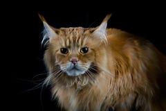 Μακρυμάλλης καφετιά γάτα που φαίνεται κεκλεισμένων των θυρών Στοκ Φωτογραφία