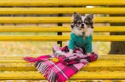 Μακρυμάλλης συνεδρίαση σκυλιών Chihuahua στον πάγκο Στοκ φωτογραφίες με δικαίωμα ελεύθερης χρήσης