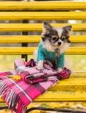 Μακρυμάλλης συνεδρίαση σκυλιών Chihuahua στον πάγκο Στοκ εικόνες με δικαίωμα ελεύθερης χρήσης