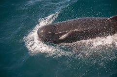 Μακρυπτέρυγες πειραματικές φάλαινες Στοκ φωτογραφία με δικαίωμα ελεύθερης χρήσης