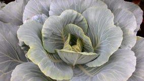 Μακρόβιο λάχανο στοκ εικόνες με δικαίωμα ελεύθερης χρήσης