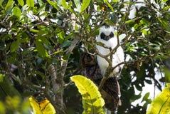 Μακρύς-έχον νώτα madagascariensis Asio κουκουβαγιών πουλιών της Μαδαγασκάρης Στοκ Φωτογραφία