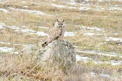 Μακρύς-έχον νώτα otus Asio κουκουβαγιών (otus Asio)/ Στοκ Φωτογραφία