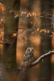 Μακρύς-έχουσα νώτα κουκουβάγια με τα πορτοκαλιά δρύινα φύλλα κατά τη διάρκεια του φθινοπώρου, πουλί στο βιότοπο Στοκ φωτογραφία με δικαίωμα ελεύθερης χρήσης