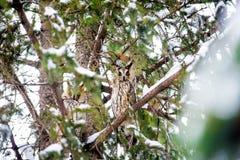 Μακρύς-έχουσα νώτα κουκουβάγια στο δέντρο Στοκ Εικόνες