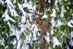 Μακρύς-έχουσα νώτα κουκουβάγια στο δέντρο Στοκ Φωτογραφίες