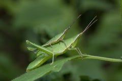 Μακρύς-αντιμέτωπο Grasshopper στην Ταϊλάνδη Στοκ φωτογραφία με δικαίωμα ελεύθερης χρήσης