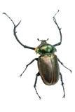 Μακρύς κάνθαρος κέρατων (γίγαντας Cerambycidae) Απομονωμένος σε ένα άσπρο backg Στοκ Φωτογραφία