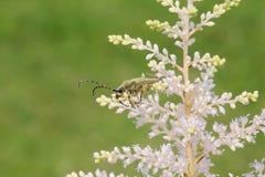 Μακρύς-κερασφόρος κάνθαρος στο άσπρο astilba λουλουδιών Στοκ Εικόνες