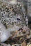 Μακρύς-μυρισμένο Potoroo (tridactylus Potorous) Στοκ εικόνες με δικαίωμα ελεύθερης χρήσης