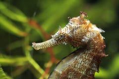 Μακρύς-σκαμμένος με τη μουσούδα seahorse στοκ φωτογραφία