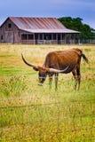 Μακρύς ταύρος κέρατων σε έναν αγροτικό δρόμο του Τέξας στοκ εικόνα με δικαίωμα ελεύθερης χρήσης