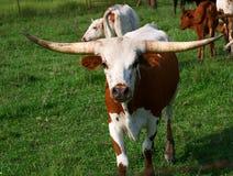 Μακρύς ταύρος κέρατων στο λιβάδι στοκ εικόνες