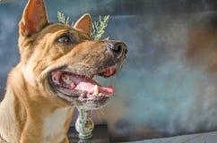 Μακρύς τρομακτικός κυνόδοντας του ταϊλανδικού σκυλιού φυλής στοκ φωτογραφία