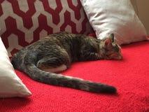 Μακρύ γατάκι ουρών - βασίλισσα Cleo στοκ εικόνες