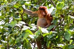 μακρύ μυρισμένο πίθηκος δέν& Στοκ φωτογραφία με δικαίωμα ελεύθερης χρήσης