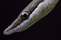 μακρύ μυρισμένο φίδι Στοκ Φωτογραφίες