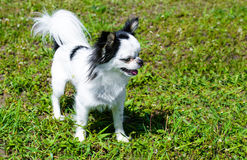 Μακρύ παλτό Chihuahua Στοκ Εικόνες