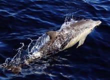Μακρύ ραμφοειδές κοινό δελφίνι Στοκ Εικόνες