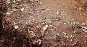 Μακρύ φίδι που τρώει τα ζώα στην επίγεια τρύπα στο πρόσθιο μέρος στοκ φωτογραφίες