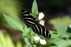 μακρύ φτερωτό με ραβδώσει&sigm Στοκ Εικόνα
