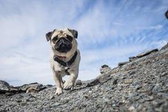 Μαλαγμένος πηλός της Pet που περπατά σε ένα βουνό στοκ φωτογραφία