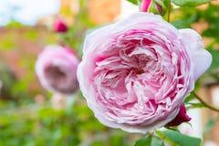 Μαλακά βαλμένα σε στρώσεις ροζ τριαντάφυλλα κρητιδογραφιών στοκ φωτογραφία με δικαίωμα ελεύθερης χρήσης