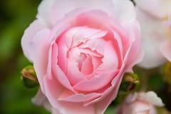 Μαλακά βαλμένα σε στρώσεις ροζ τριαντάφυλλα κρητιδογραφιών στοκ εικόνες
