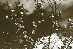 Μαλακά λουλούδια κραταίγου στοκ εικόνες