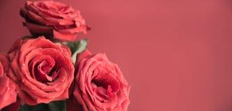 Μαλακά πλήρη φγμένα κόκκινα τριαντάφυλλα ως υπόβαθρο Διάστημα για το κείμενο floral πρότυπο καρδιών λουλουδιών απελευθέρωσης πετα στοκ εικόνες
