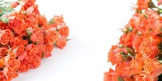 Μαλακά πλήρη φγμένα πορτοκαλιά τριαντάφυλλα θάμνων Εκλεκτική εστίαση απομονωμένος στοκ φωτογραφίες