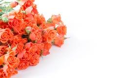 Μαλακά πλήρη φγμένα πορτοκαλιά τριαντάφυλλα θάμνων ως ουδέτερο υπόβαθρο Εκλεκτική εστίαση απομονωμένος στοκ φωτογραφία με δικαίωμα ελεύθερης χρήσης