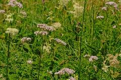 Μαλακά ρόδινα κοινά valerian λουλούδια σε έναν άγριο κήπο - officinalis Valeriana Στοκ εικόνες με δικαίωμα ελεύθερης χρήσης