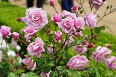 Μαλακά τριαντάφυλλα χρώματος Στοκ Εικόνα