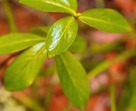 Μαλακή άποψη του πράσινου φύλλου Στοκ Εικόνες
