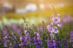 Μαλακή εστίαση του ανθίζοντας πορφυρός-ρόδινου κήπου λουλουδιών Angelonia με το φως ήλιων Στοκ Εικόνες